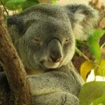 animals - koala